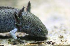 Axolotl στοκ φωτογραφία