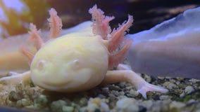 Axolotl, Ambystoma mexicano Mexicanum da salamandra ou peixes de passeio mexicanos, tempo real, 4k, ultra hd video estoque