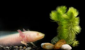 Axolotl Ambystoma mexicanum Royalty Free Stock Photos