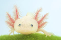 Axolotl (Ambystoma mexicanum) Stock Photography