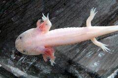 Axolotl (Ambystoma mexicanum) Stock Image