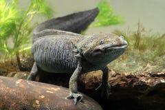 Axolotl, Ambystoma mexicanum Stock Image