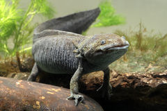 Axolotl Ambystomamexicanum Fotografering för Bildbyråer