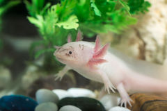 Axolotl in aquarium Royalty-vrije Stock Foto