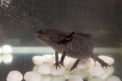 Axolotl in the aquarium Royalty Free Stock Photo