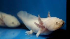 Axolotl branco (mexicanum do Ambystoma) video estoque