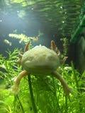 Axolotl de oro adulto del albino Imagen de archivo libre de regalías