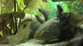 axolotl de type sauvage Images stock