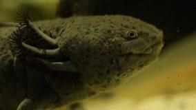 Axolotl del pesce video d archivio
