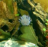 Axolotl, der herein dort hängt lizenzfreies stockbild