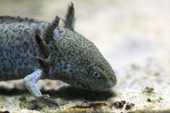 Axolotl Stock Photography