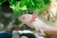 Axolotl en acuario Foto de archivo libre de regalías