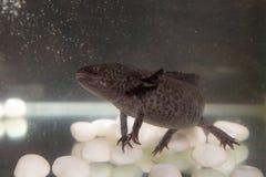 Axolotl en el acuario Foto de archivo libre de regalías