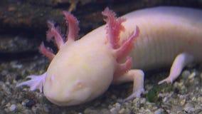 Axolotl, Mexican Salamander Ambystoma Mexicanum or Mexican Walking Fish, real time, 4k, ultra hd stock video footage