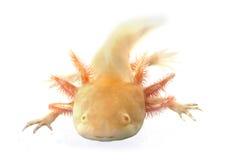 Axolotl Stock Photography