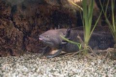 Axolotl mexican salamander portrait underwater Royalty Free Stock Photo
