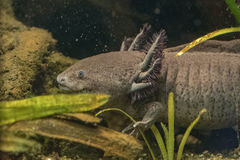 Axolotl mexican salamander portrait underwater Royalty Free Stock Photography