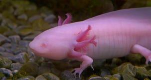 Axolotl mexicansk salamander (ambystomaen Mexicanum) lager videofilmer