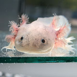 Axolotl (mexicanum Ambystoma) Στοκ φωτογραφία με δικαίωμα ελεύθερης χρήσης