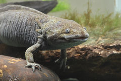Axolotl, mexicanum d'Ambystoma images libres de droits