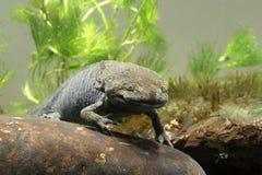 Axolotl, mexicanum d'Ambystoma Image libre de droits
