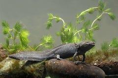 Axolotl, mexicanum d'Ambystoma Photographie stock libre de droits