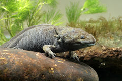 Axolotl, mexicanum d'Ambystoma, photographie stock