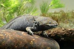 Axolotl, mexicanum d'Ambystoma, Photographie stock