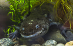 The axolotl salamander Royalty Free Stock Photos