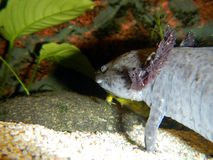 Axolotl underwater. Axolotl (Ambystoma mexicanum) - underwater photo royalty free stock images
