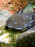 Axolotl underwater. Axolotl (Ambystoma mexicanum) - underwater photo stock photography