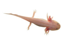 Axolotl  on white Royalty Free Stock Photography