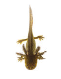 Axolotls are members of the Ambystoma tigrinum (Tiger salamander Stock Images