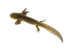 Axolotls are members of the Ambystoma tigrinum (Tiger salamander Stock Photography