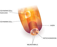 Axon and myelin sheath Stock Photography