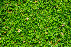 Axonopus compressus garden lawn Royalty Free Stock Photos