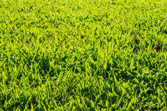 Axonopus compressus lawn with sunlight Stock Photo