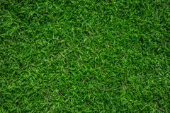 Super Green. Axonopus is a genus of plants in the grass family, known generally as carpetgrass Stock Images