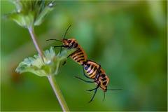 Ayúdeme dos escarabajos de los insectos Fotos de archivo libres de regalías