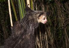 Aye-aye, nocturnal lemur of Madagascar Stock Photography
