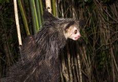 Aye-aye, nocturnal lemur of Madagascar. Spooky Aye-aye, nocturnal lemur of Madagascar Stock Photography