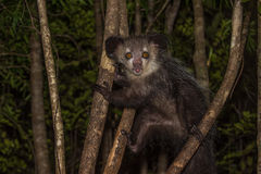 Aye-aye, nocturnal lemur of Madagascar Royalty Free Stock Photos