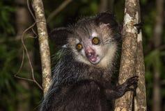 Aye-aye, nocturnal lemur of Madagascar. Spooky Aye-aye, nocturnal lemur of Madagascar Royalty Free Stock Photos