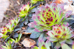 Aye-green Sempervivum Royalty Free Stock Photography