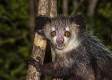 Aye, nocturnal lemur Madagascar Zdjęcie Stock