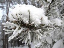 Ayer eines Schnees auf der Kiefer Stockfotos