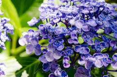 Ayesha bigleaf hydrangea. Royalty Free Stock Photography