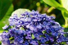 Ayesha bigleaf hydrangea. Stock Photo