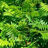 Aylantus large deciduous tree Royalty Free Stock Photos