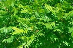 Aylantus large deciduous tree Stock Photography